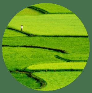 Le riz est l'ingrédient de base de l'onigiri